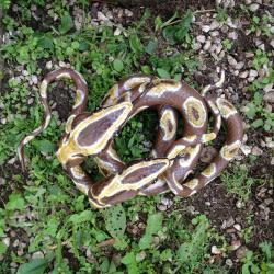 2 pythons entremêlés